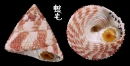 山形鐘螺 Trochus calcaratus 2