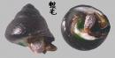 素面黑鐘螺 Chlorostoma xanthostigma 1