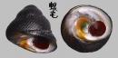 素面黑鐘螺 Chlorostoma xanthostigma 2