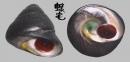 素面黑鐘螺 Chlorostoma xanthostigma 3