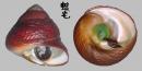素面黑鐘螺 Chlorostoma xanthostigma 5
