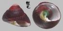素面黑鐘螺 Chlorostoma xanthostigma 6