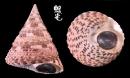 紅斑鐘螺 Trochus conus 1