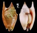 紅袖鳳凰螺 Strombus bulla 1