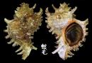 大千手螺 Chicoreus ramosus 1