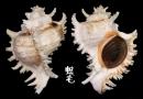 大千手螺 Chicoreus ramosus 2