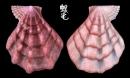 北海道海扇蛤 Swiftopecten swiftii 2