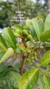 葡萄桑(地植)開花結果