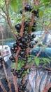 原生嘉寶果(原生種樹葡萄)