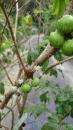 四季嘉寶果(早生、紅妃、矮種樹葡萄)