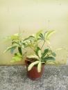 斑葉鵝掌藤
