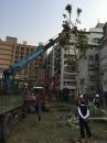 慈濟醫院移樹工程 (5)