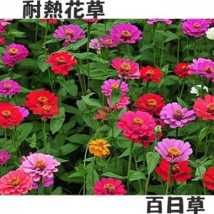 【百日草】一公斤裝