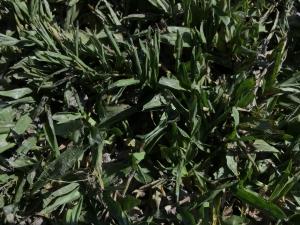 草皮大量購買-地毯草
