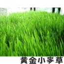 【黃金小麥草】一公斤裝