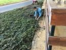 地毯草草皮施工