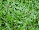 【巴西地毯草草皮】一坪