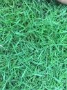 【韓國草草皮】一坪