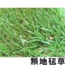【類地毯草草皮】一坪