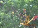 樹木鋸除(鋸除中)