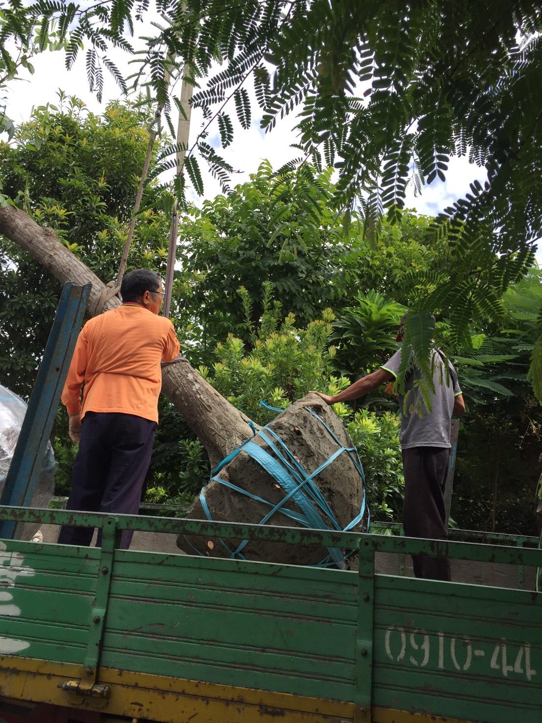 綠化 樹木批發