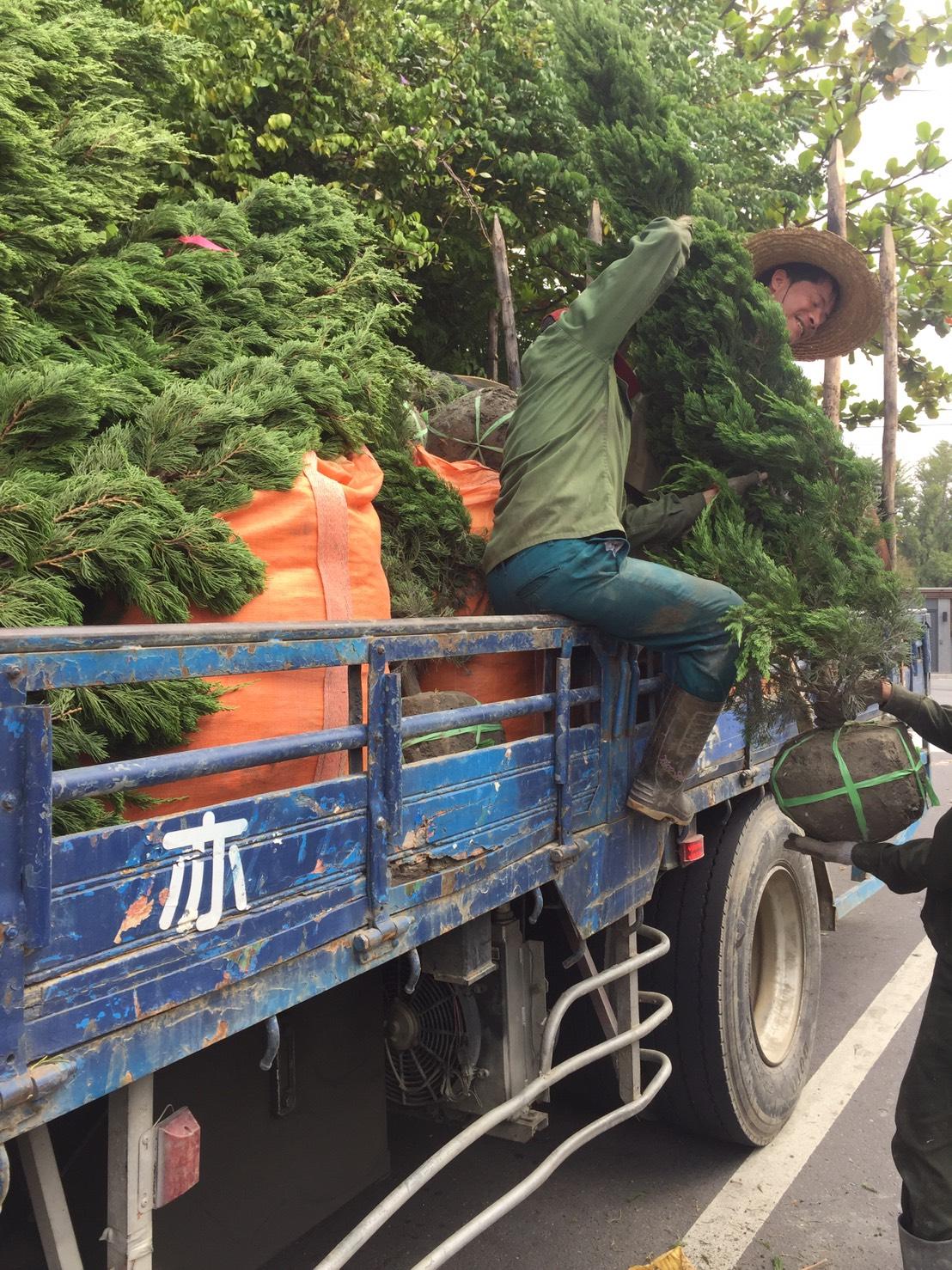 綠化樹木買賣