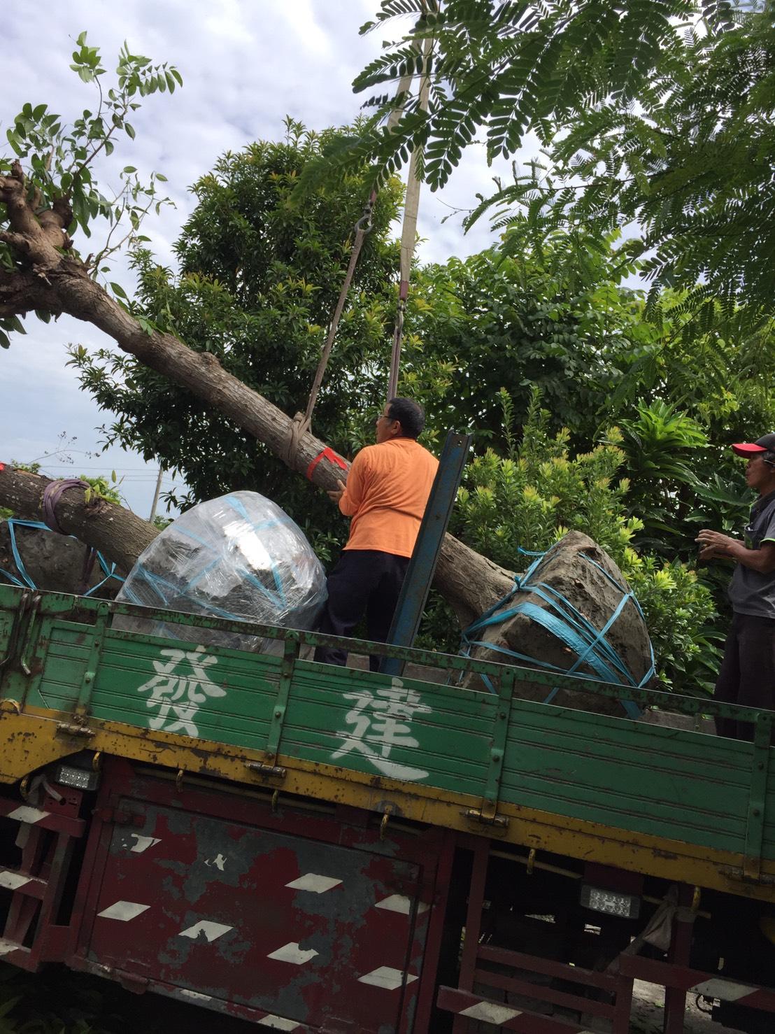 綠化 樹木買賣