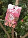 紅花風鈴木