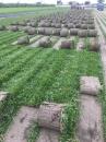 巴西地毯草 2