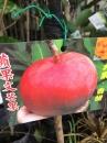 蘋果文芒果