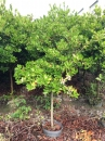 熱帶櫻桃,巴西甜櫻桃