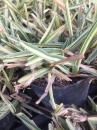 澳古斯丁草