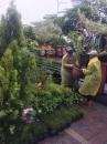 各種類綠化樹木:斑葉南仁