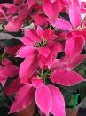 桃喜聖誕紅