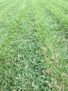 地毯草 批發