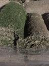 草皮,台北草