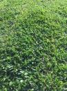 彰化草皮各品種類草子