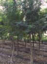 光臘樹,白櫸木,櫸木