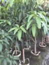 各種類品種芒果樹
