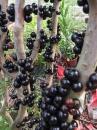 四季樹葡萄
