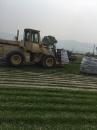 巴西地毯草批發推薦