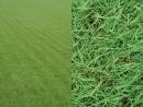 百慕達草 草皮地毯批發