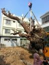 盆栽樹木吊掛 (3)