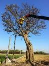 彰化園藝樹木吊掛 (1)