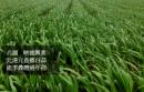 北港元長白蒜(產季2月~農曆過年)