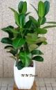 C001-印度橡樹