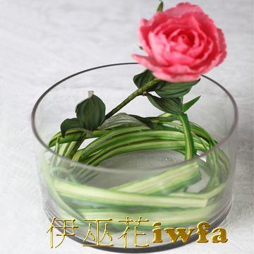 小盆花—百頁 粉紅色