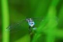 柚園生態休閒農場-粗腰蜻蜓
