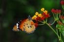 柚園生態休閒農場-樺斑蝶-屏東柚園