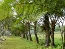 乾坤有機生態休閒農場-農場筆筒樹通道